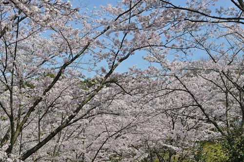 2015桜21