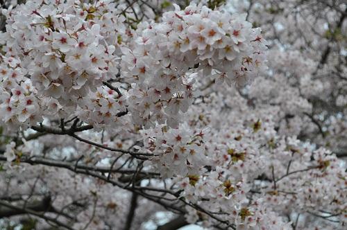 2015桜31