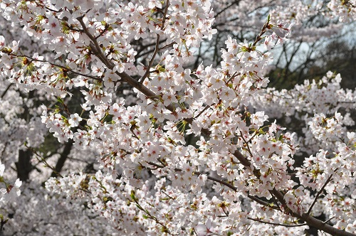 2015桜46