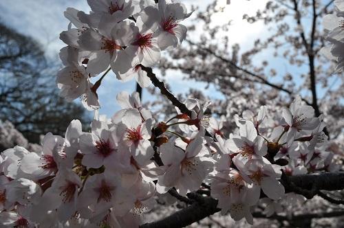 2015桜50