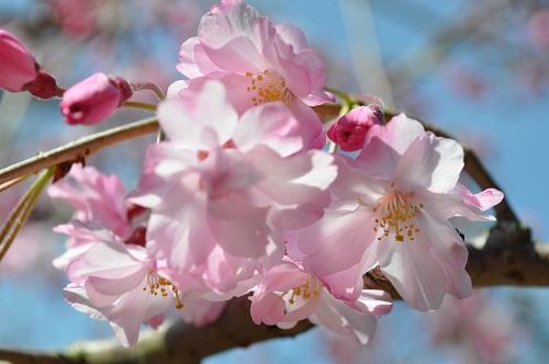 枝垂れ桜2015-4--4