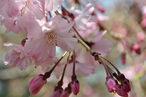 枝垂れ桜2015-4-4-2