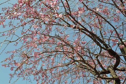 枝垂れ桜201-4-4-3