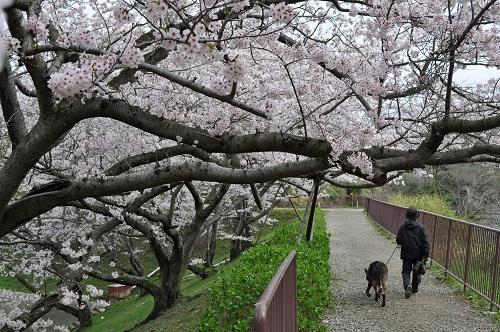 2015桜25