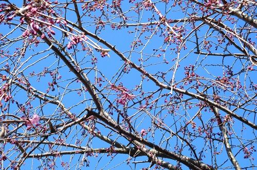 枝垂れ桜2015-4-2