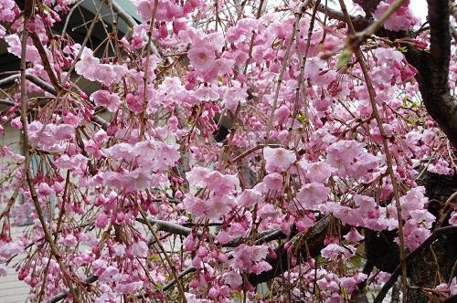 枝垂れ桜2015-4-5