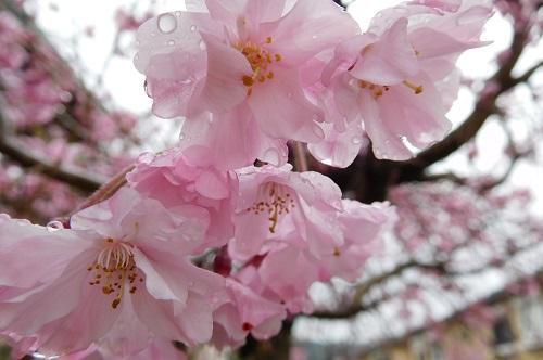 枝垂れ桜2015-4-5-2
