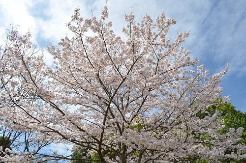 2015桜追加2