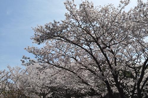 2015桜追加5