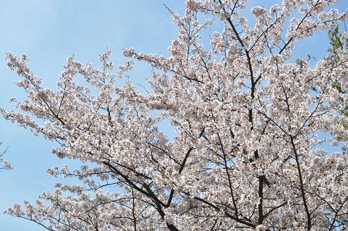 2015桜追加6