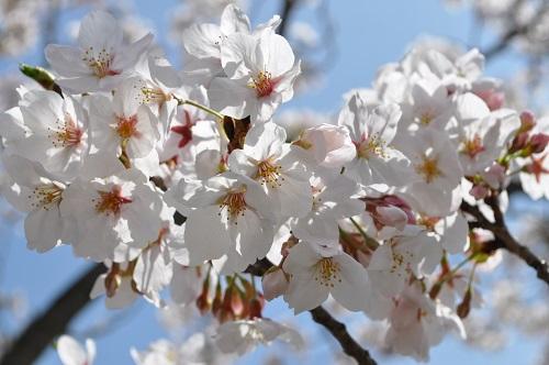 2015桜追加8