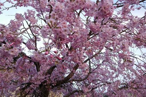 枝垂れ桜2015-4-8-23