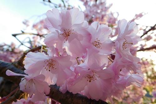 枝垂れ桜2015-4-8-1