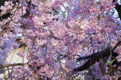枝垂れ桜2015-4-8-4