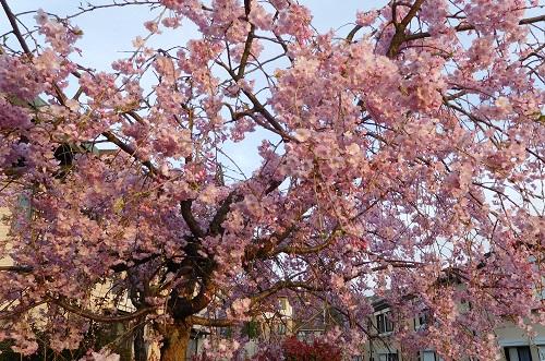 枝垂れ桜2015-4-8-5