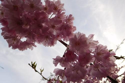 枝垂れ桜2015-4-8-14