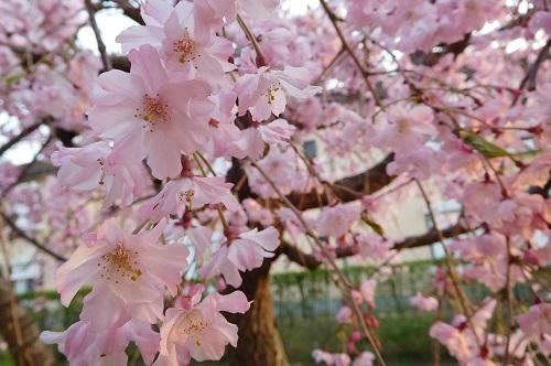 枝垂れ桜2015-4-8-16