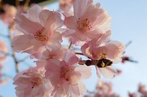 枝垂れ桜2015-4-8-7