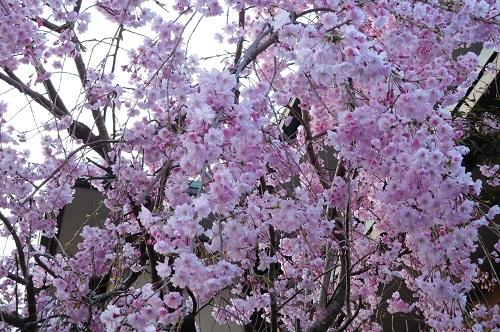 枝垂れ桜2015-4-8-18
