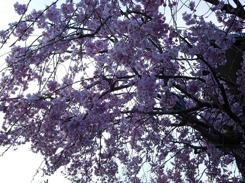 枝垂れ桜2015-4-8-19