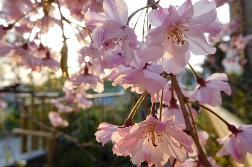 枝垂れ桜2015-4-8-21