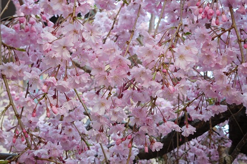 枝垂れ桜2015-4-8-22