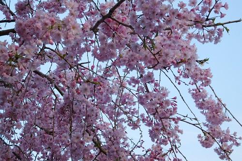 枝垂れ桜2015-4-8-24