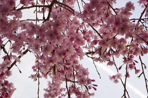 枝垂れ桜2015-4-8-26