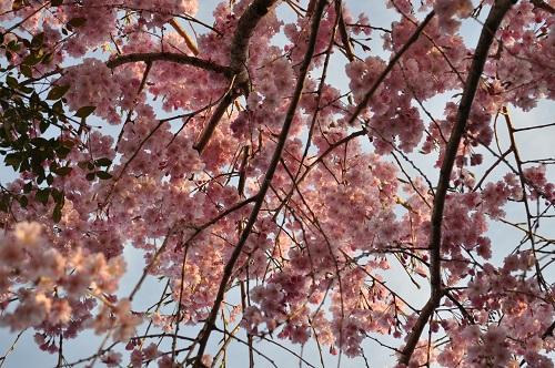 枝垂れ桜2015-4-8-35