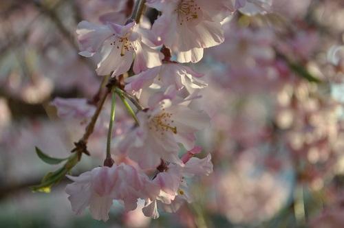 枝垂れ桜2015-4-8-36