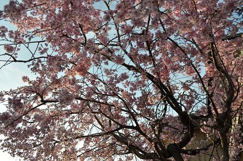 枝垂れ桜2015-4-8-38