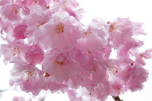 枝垂れ桜2015-4-8朝2
