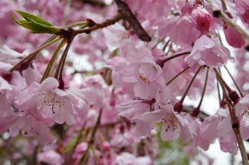 枝垂れ桜2015-4-8朝3
