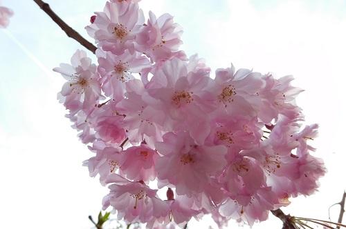 枝垂れ桜2015-8-13