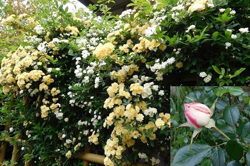 春の花2015-5