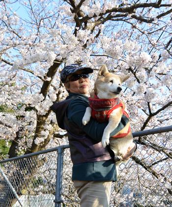 2015yatonosakura-1.jpg