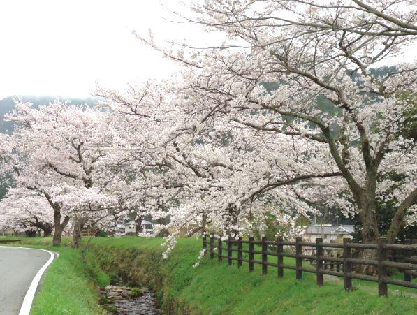2015-0404 MIWAKARE SAKURA