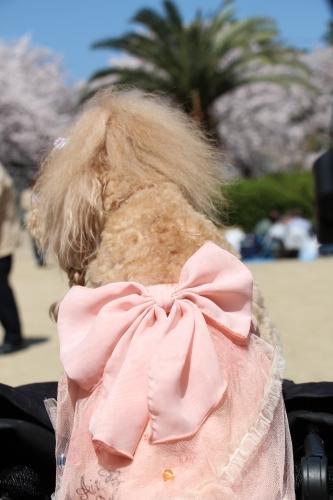 夙川桜並木