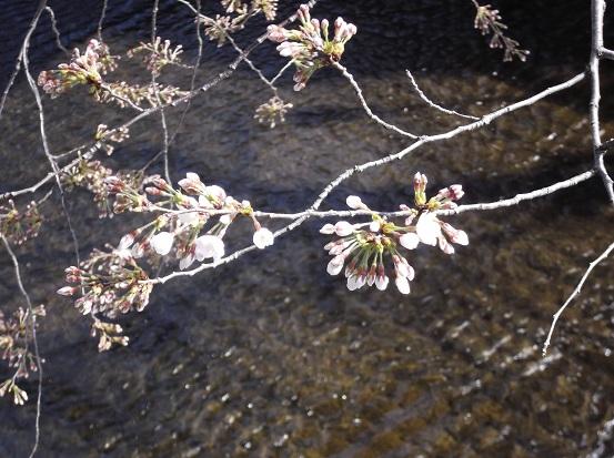 桜0384