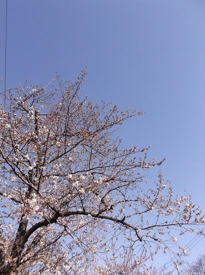桜0457