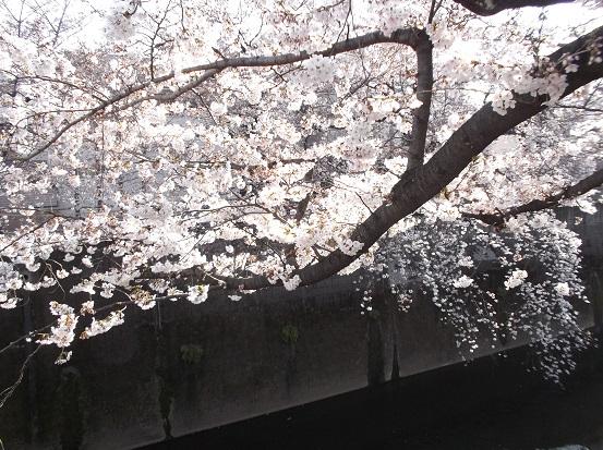 桜0475