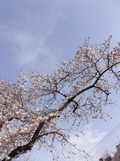 桜0477