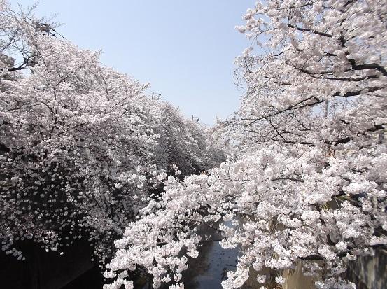 桜0578