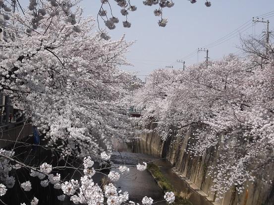 桜0492