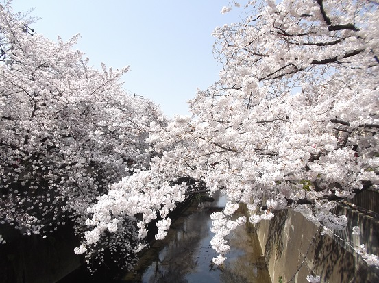 桜0577