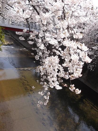 桜0557