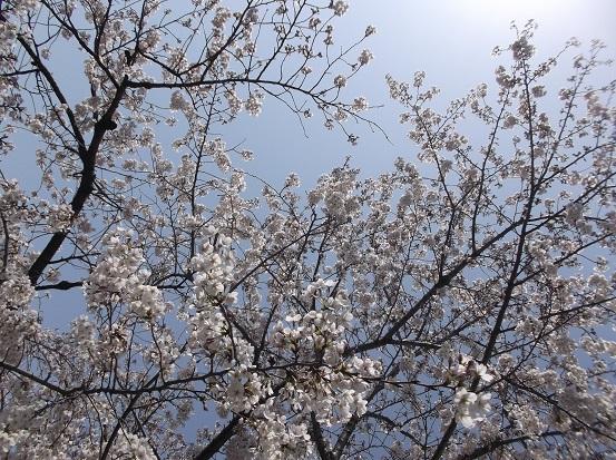 桜0580