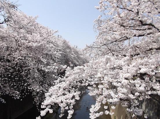 桜0505