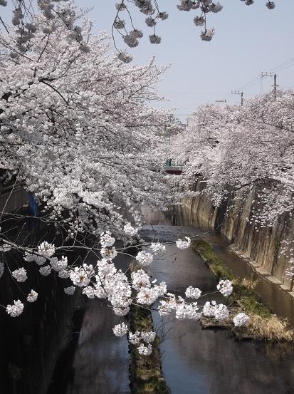 桜0491