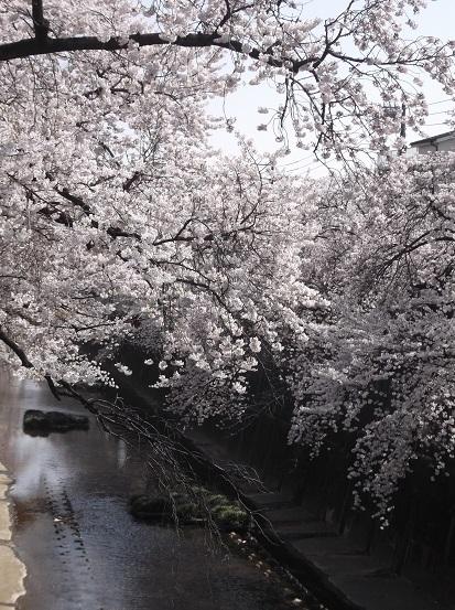 桜0560